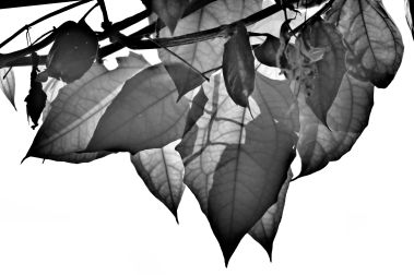 Leaf Study 7