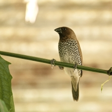 scaly-breasted-munia