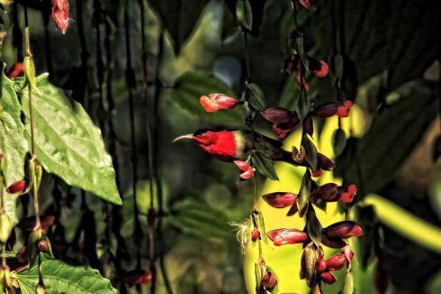 crimson-sun-bird