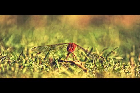 dragonfly-in-grass