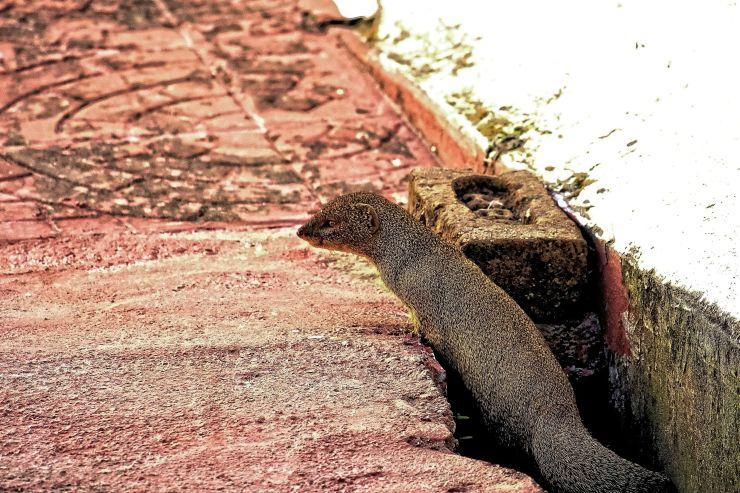 mongoose-crunchy