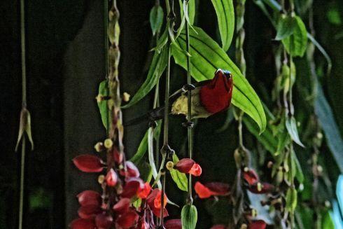 crimson-sunbird-2