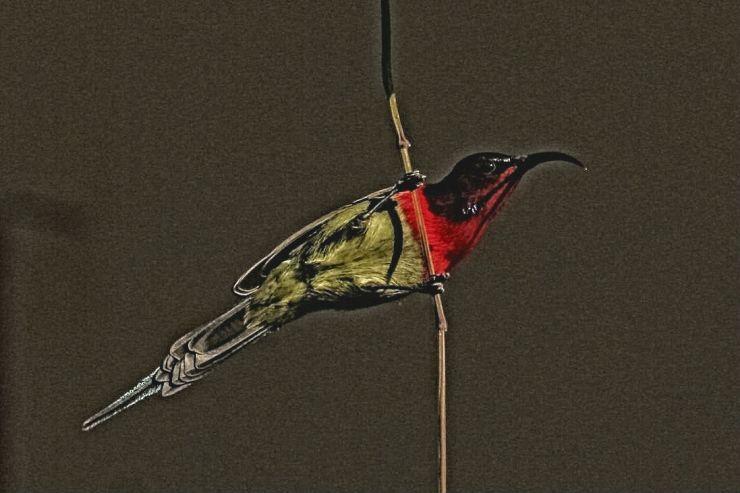 crimsonsunbird