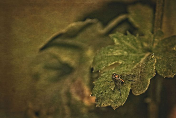 goldenfly