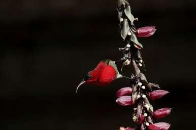 crimson-sun-bird-1