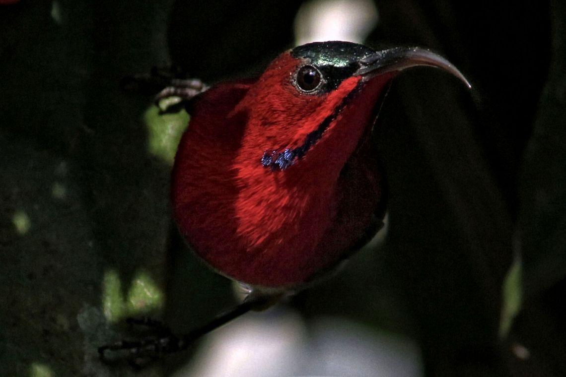 crimson-sun-bird-3