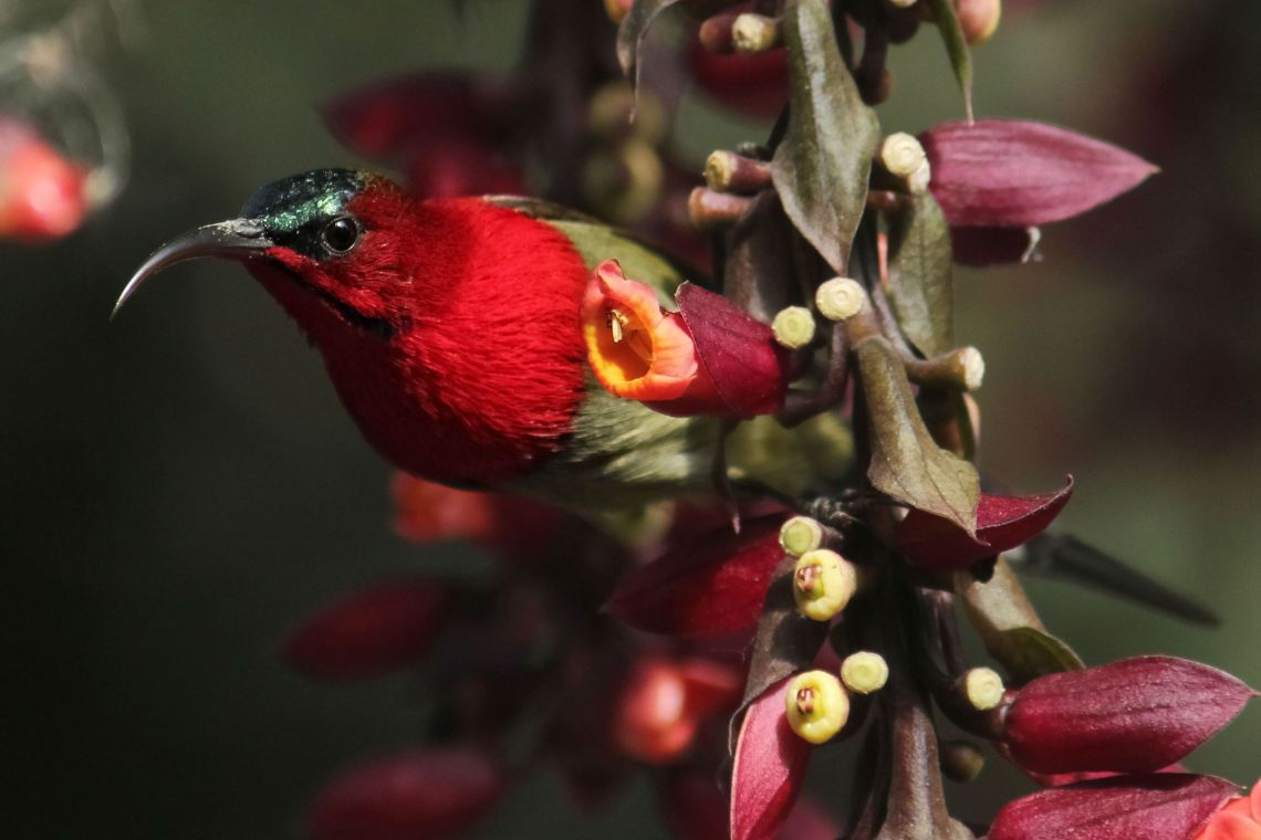 crimson-sun-bird-4