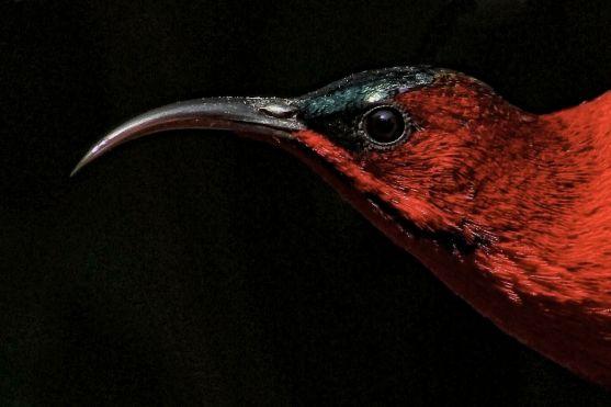 crimson-sunbird-5