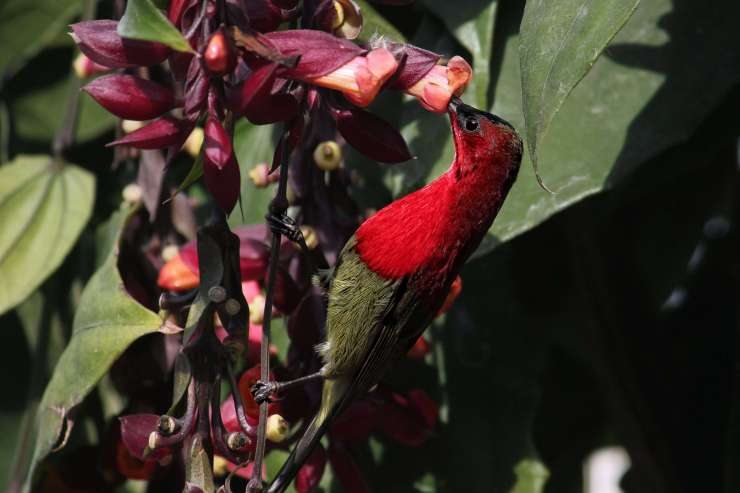 crimson-sunbird-7