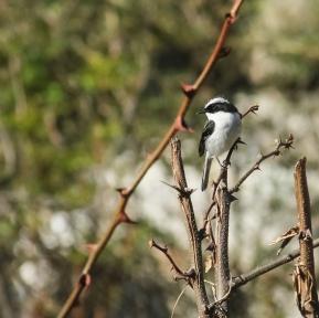 grey bushchat