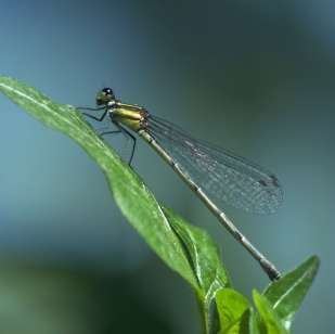 fairies were conceived in the dreamy memory of a sweet damselfly...