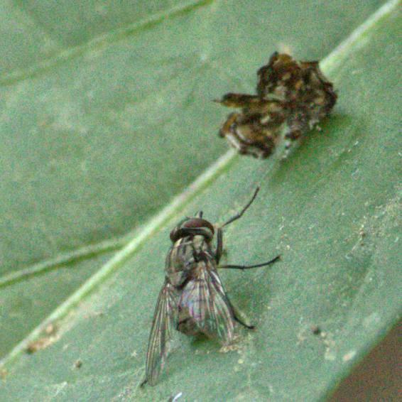 seemingly hypnotized fly