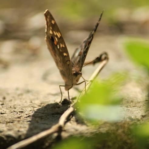 butterfly3alq