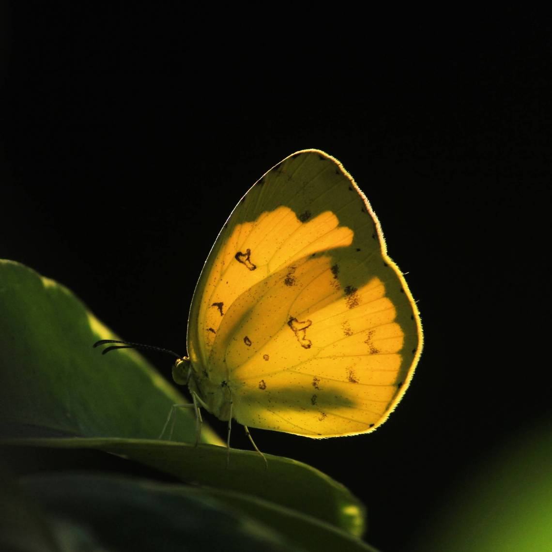 butterflylq