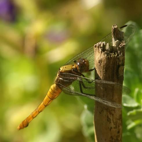 dragonflylq